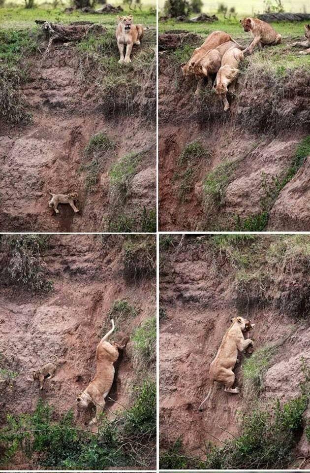 La caduta del leoncino senza Disney