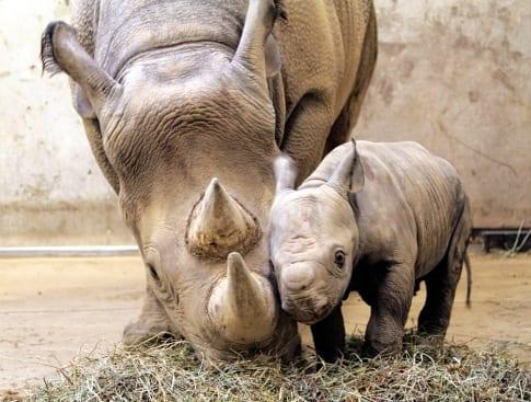 Il Rinoceronte è andato, per sempre