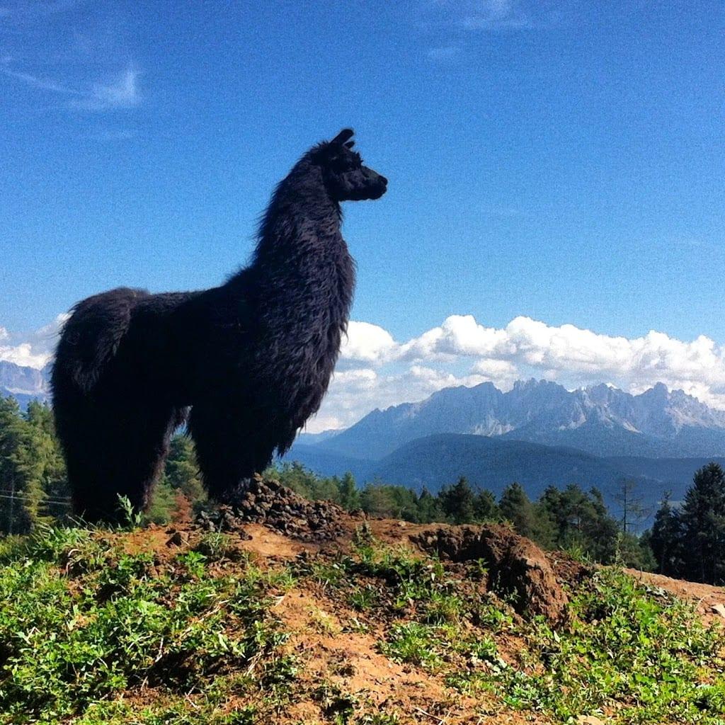 In montagna coi lama e i gallorosso