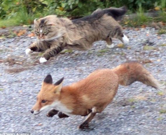 Il gatto che batte la volpe
