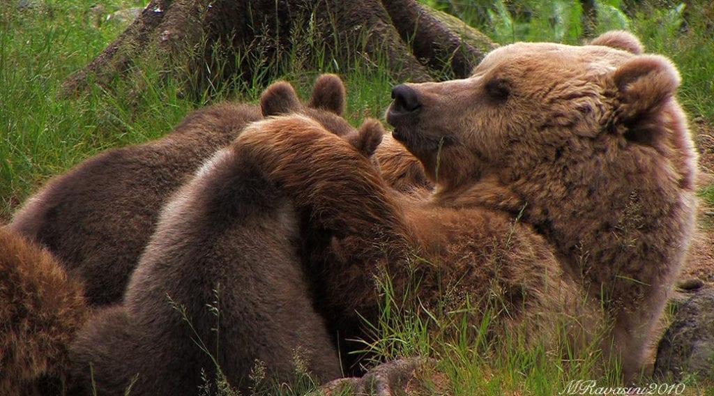 orsa con cuccioli